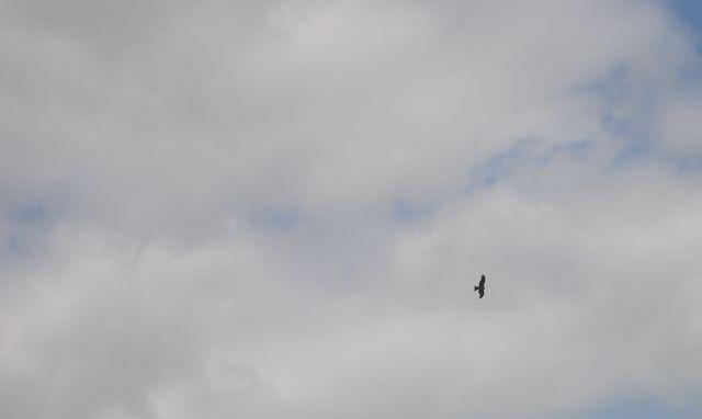 k-04_Greifvogel