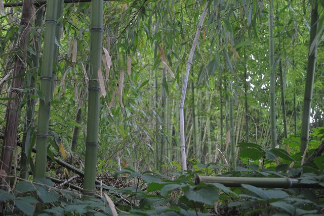 Bambuswald