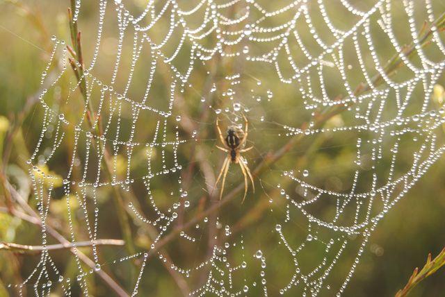 k-75_Spinnennetz mit Spinne