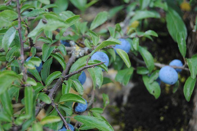 Blaue Beeren = Blaubeeren??
