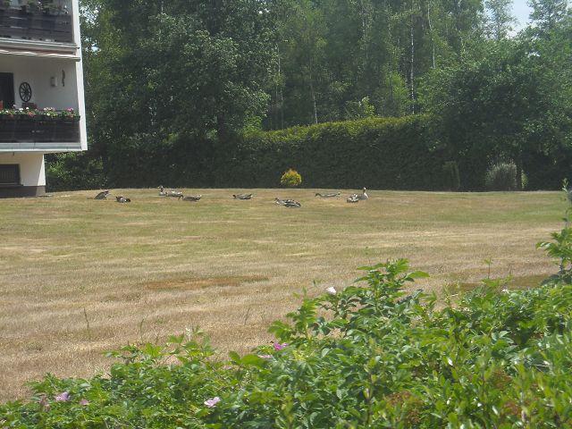 Die Gänse haben trotzdem den Rasen betreten - bätsch